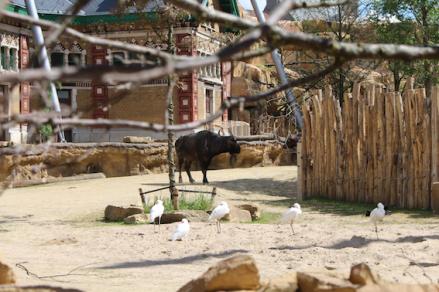 Zoo Antwerpen. Kaapse Buffels in het Savanne verblijf.