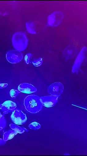 Jellyfish stelen de show bij onderwaterballet - blauw