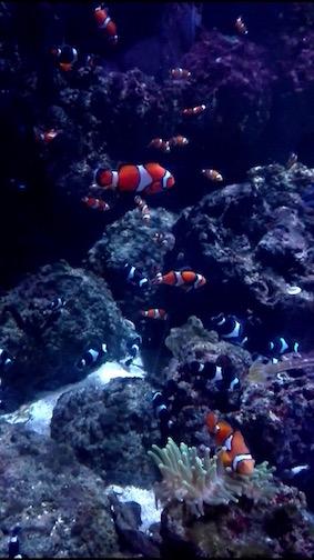 Wie zoekt die vind het zwarte witte neefje van nemo bij Sea Life Londen