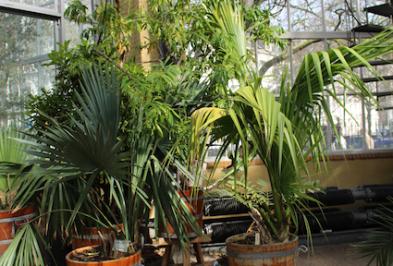 Hortus Botanicus Amsterdam - palmen in pot