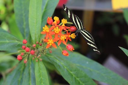 Hortus Botanicus Amsterdam - tropische vlinders