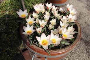 Hortus Botanicus Amsterdam - witte tulpjes
