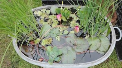 Tuindagen Beervelde - waterlelies